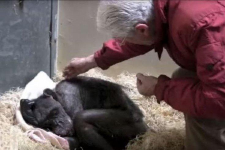 Ölüm döşeğindeki şempanzenin 45 yıllık bakıcısıyla duygusal buluşması