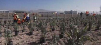 Ankara Büyükşehir Belediyesi yerli bitki üretimine lavantayla başladı