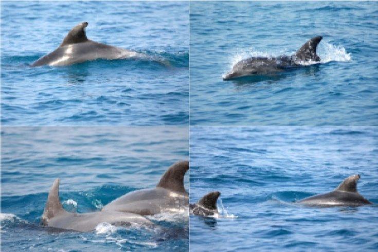Karataş'taki yunus ve balinalar koruma altına alınıyor