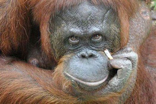 Tiryaki orangutana sigara yasağı