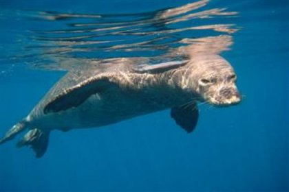 Akdeniz foklarına ne oldu?