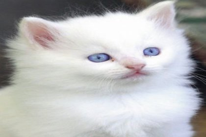 Ankara kedisi tehlike altında