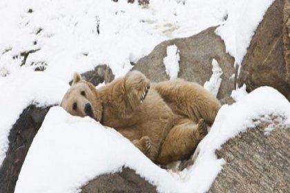Ayılar kış uykusunu unuttu!