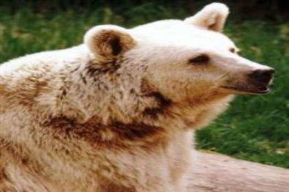 ayılar neden çogaldı