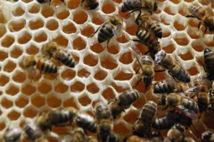 Bal Arıları CHP'nin Gündeminde