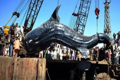 Dev köpek balığı 19 bin dolara satıldı
