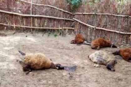 Krediyle aldığı koyunları kurtlar yedi