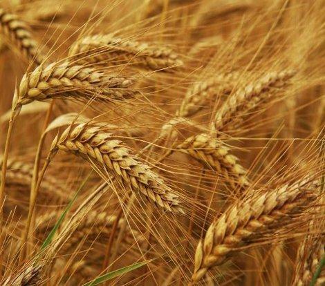 Buğday alımı için ihale açıldı!
