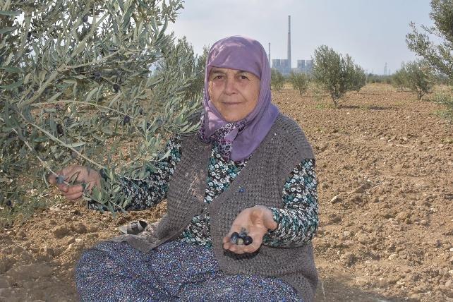 Termik santral için 6 bin ağacın katledildiği Yırca'da yeniden dikilen zeytin ağaçları 4 yıl sonra ilk hasadını verdi
