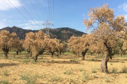 Aydın'da JES yakınındaki 1500 zeytin ve incir ağacı kurudu