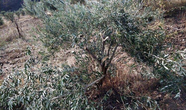 500'den fazla zeytin ağacını baltayla katlettiler!