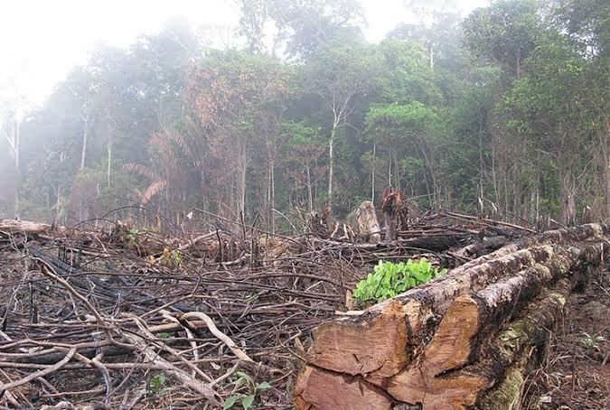 Ağaç kesimi 17 yılda 5 katı arttı
