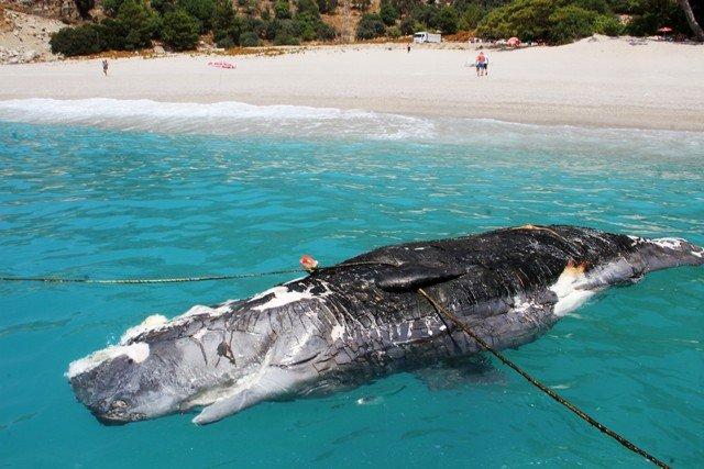 Ölüdeniz'de 3 metre uzunluğundaki balina karaya vurdu