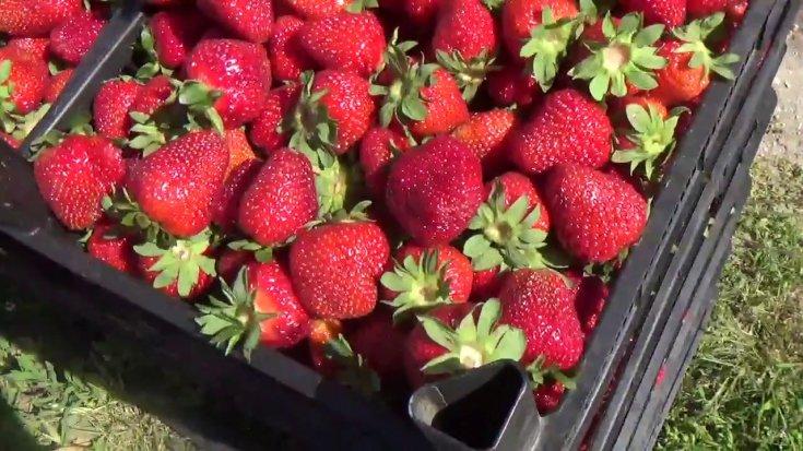 Rusya, Türkiye'den gönderilen 60 ton domates ve çileği geri çevirdi