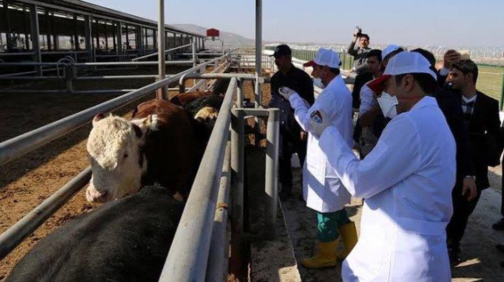Tarım ve Orman Bakanlığı hayvanlara bozuk aşı yaptırmış!