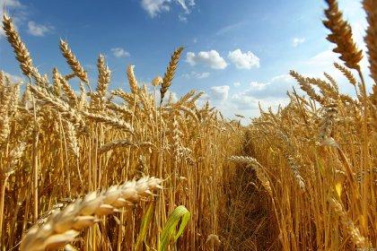 Buğdayda 'yel vurgunu' çiftçiyi perişan etti