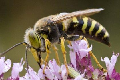 Eşek arıları bu denklemi çözebiliyor: X, Y'den, Y de Z'den büyükse X, Z'den büyüktür!