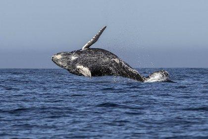 Filipinler'de 40 kilo plastik yutan yavru balina öldü