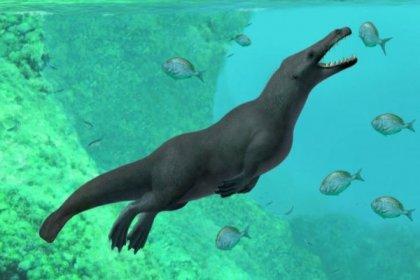 Peru'da 43 milyon yıl öncesine ait dört bacaklı balina fosili bulundu