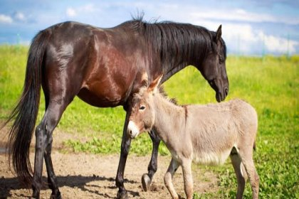 Sudan'dan at ve eşek eti gelecek