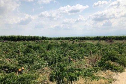 Tarım iflas noktasında: Bursalı çiftçi 3 bin 800 meyve ağacını kökünden kesti!