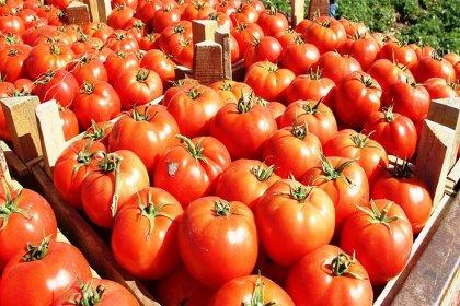 Ukrayna, Türkiye'den getirilen 17 ton domatesi ülkeye sokmadı