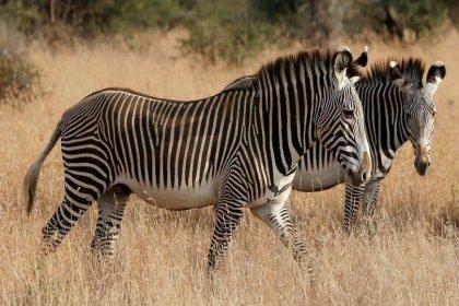 Zebraların çizgilerinin ne işe yaradığı sorusuna yanıt bulundu