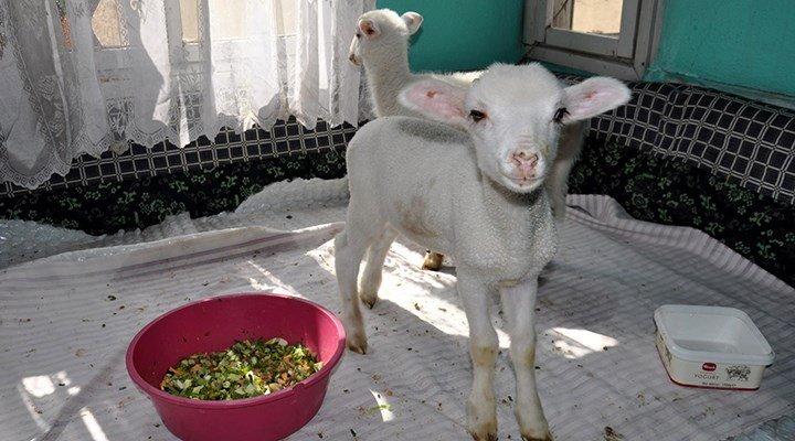 Evde baktığı kuzularına 112'den yem istedi, torun sanıp gıda getirdiler