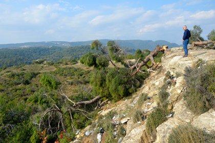 Bir gecede bin 511 ağacı kesen serbest bırakıldı, baro başkanı tepki gösterdi