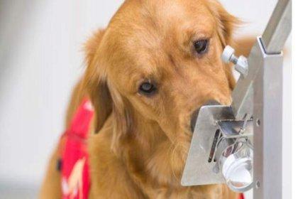 Denemeler başlıyor: Köpekler koronavirüsün kokusunu alabilir mi?