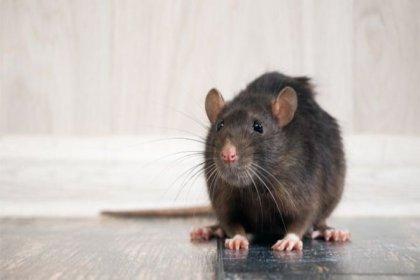 Koronavirüs sıçanları neden saldırganlaştırıyor?