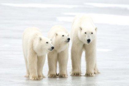 Kutup ayılarının nesli 80 yıl içinde tükenebilir