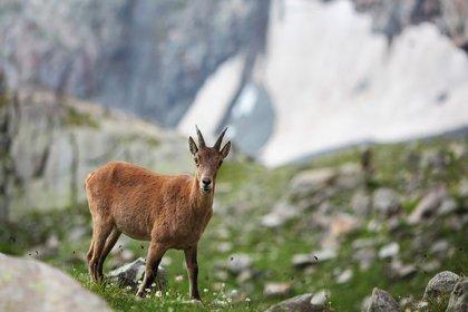 Mahkeme, Antalya ve Isparta'daki 47 yaban keçisi av ihalesini iptal etti