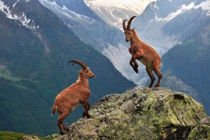 Mersin'de 75 dağ keçisi, ihaleyle katledilecek!