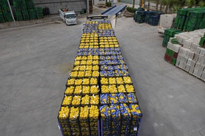 Mersin'in limonları İstanbul'dan sonra bu kez de Ankara için yola çıktı