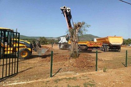 Termik santral alanından sökülen asırlık zeytin ağaçları Bodrum Belediyesi Yerel Tohum Merkezinde yeniden hayat buldu