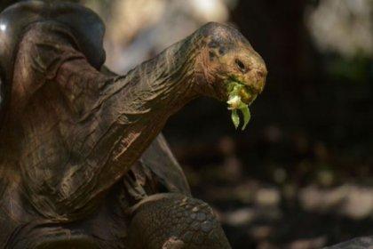 Yüksek libidosuyla türünü kurtaran 100 yaşındaki Galapagos kaplumbağası Diego, emekliye ayrıldı