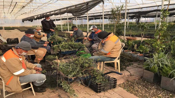 Antalya Büyükşehir Belediyesi çiftçi için adaçayı fidesi üretiyor