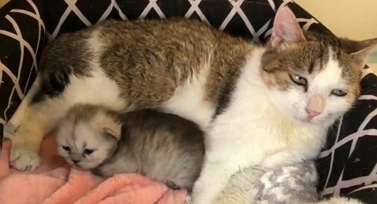 Çin'de bir orman kedisi klonlandı