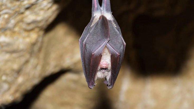 Doğadaki yarasalarda koronavirüse benzer virüsler keşfedildi