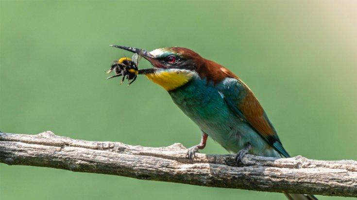 Hatay'da 31 yıl sonra yeşil arı kuşu görüldü
