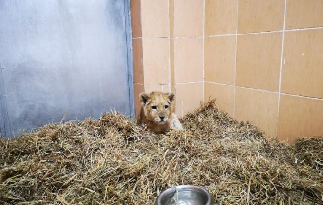 Kaçak yollardan ülkeye sokulan yavru aslan, İzmir Doğal Yaşam Parkı'nda karantina altına alındı