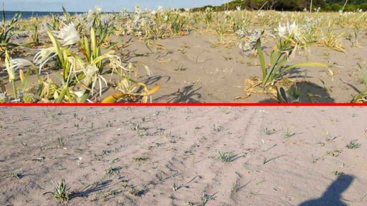 Koparılması yasak olan kum zambaklarını belediye ekipleri biçti