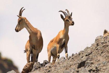 12 ilde 115 yaban hayvanın avlanması için ihaleye çıkıldı