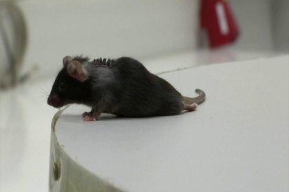 Felçli fareler gen tedavisiyle tekrar yürüdü