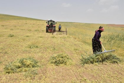 Ankaralı çiftçilere dağıtılan kırmızı mercimek tohumunun hasadına başlandı