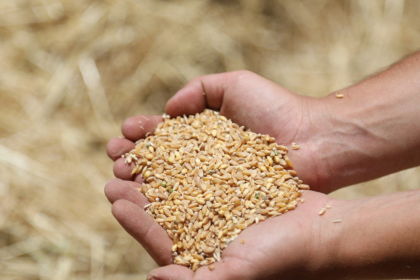 Ata tohumu karakılçık buğdayının ilk hasadı Karaova'da yapıldı