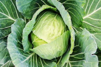 Beyaz lahananın 7 yararı