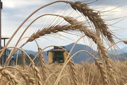 Buğday fiyatı 2020'de yüzde 23.64 arttı