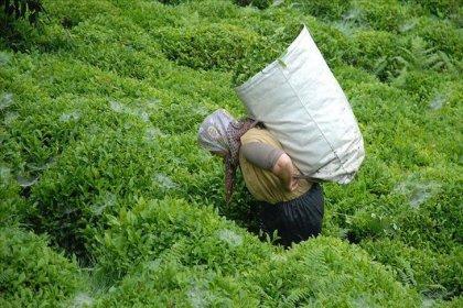 CHP Rize İl Başkanlığı: 2021 yılı yaş çay alım fiyatı 5 TL olmalıdır